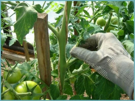 как пасынковать гибридные томаты