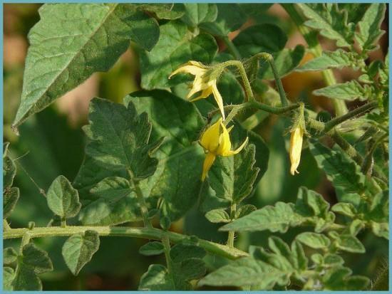 удобрение кустов томата в теплице