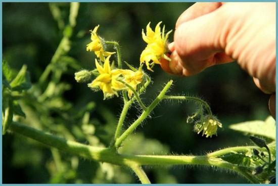 как ухаживать за помидорами в период цветения