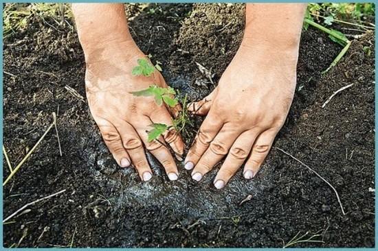 как посадить астильбу