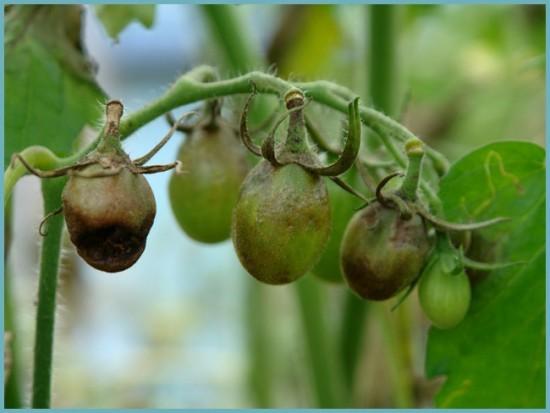 фитофтора на овощных культурах