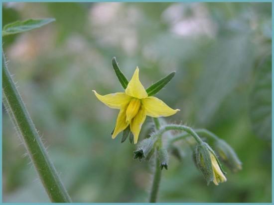 цветок томата после опыления