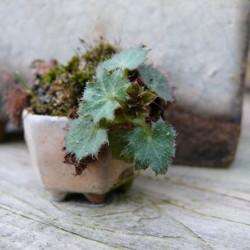 выращивание камнеломки в доме