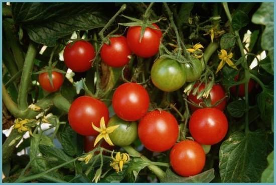 томаты устойчивые к болезням