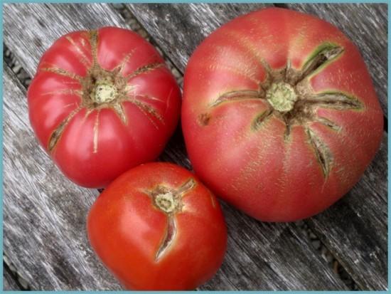 причины по которым лопаются тепличные помидоры