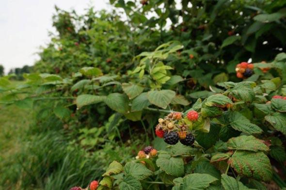 выращивание черной малины