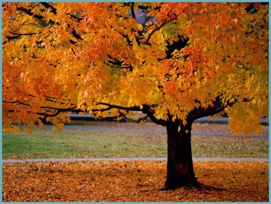 листопад клена