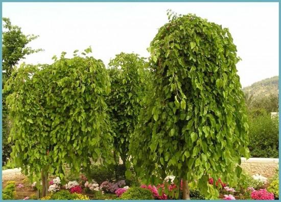 виды тутового дерева