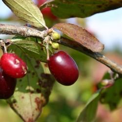 выращивание кизила