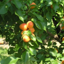 как правильно обрезать абрикос