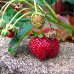 крупноплодная садовая земляника