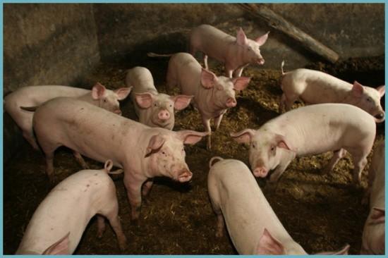 применение свинного навоза