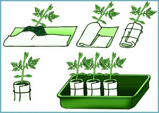 как посадить рассаду в пеленках