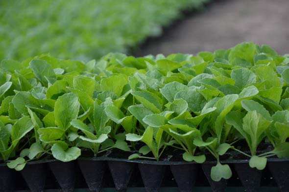 Как выращивать пекинскую капусту