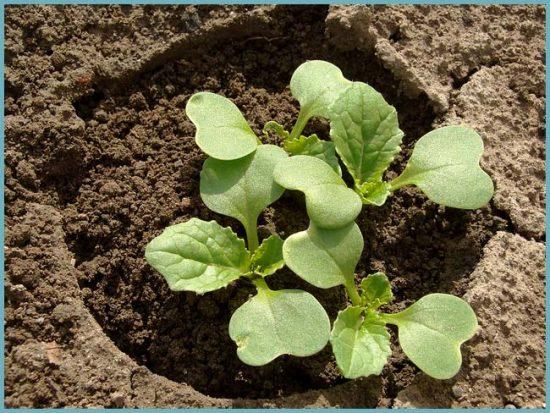 как посадить пекинскую капусту