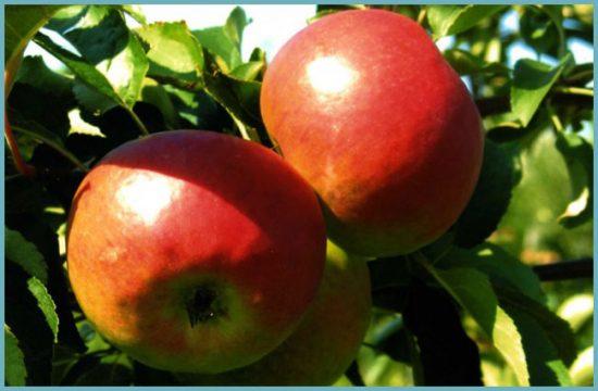 сорт яблонь