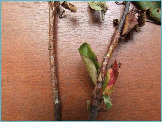 болезнь коры дерева