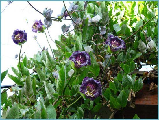 цветы вьющиеся для дома