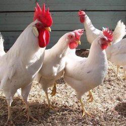 Лучшие породы кур