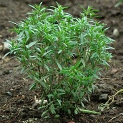 Выращивание эстрагона