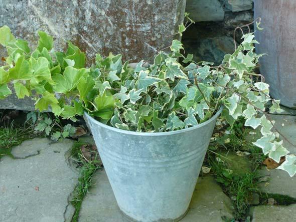 Плющ садовый