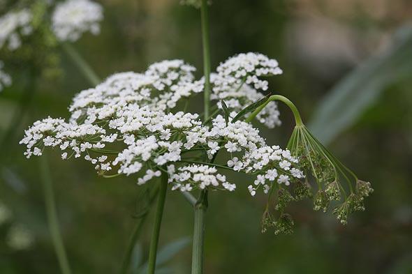Выращивание аниса