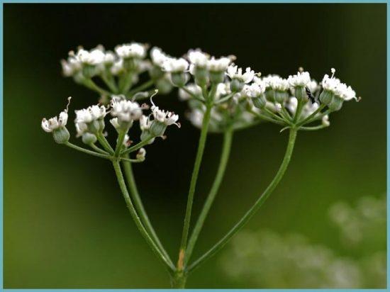 цветение аниса