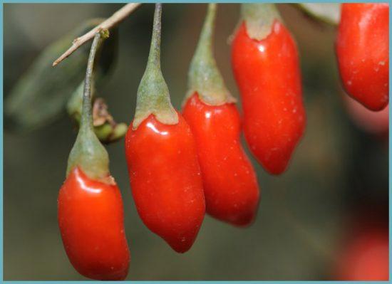 польза ягоды годжи