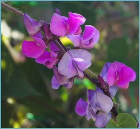 цветение декоративной фасоли