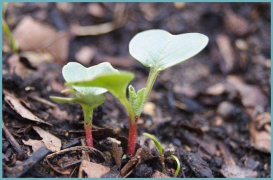 как посадить редис