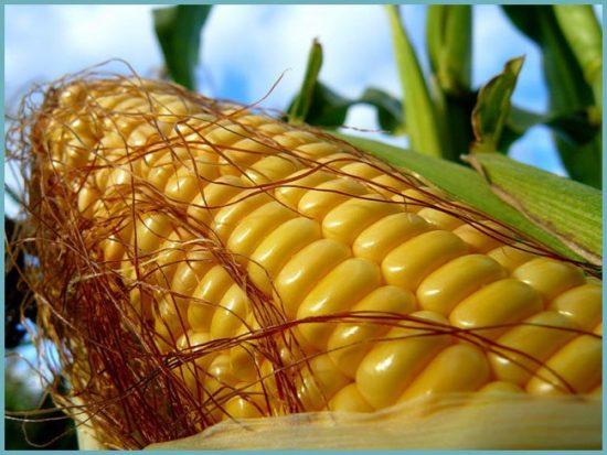 кукуруза для сибири
