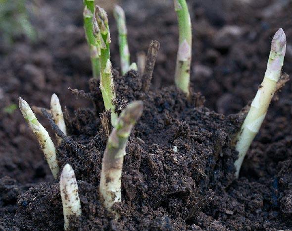 Выращивание спаржи
