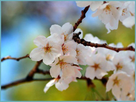 избавиться от вредителей вишни