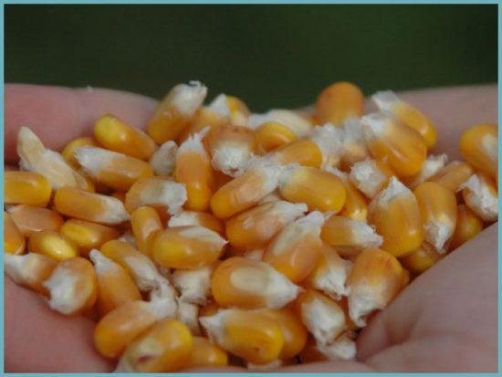 посадка кукурузы