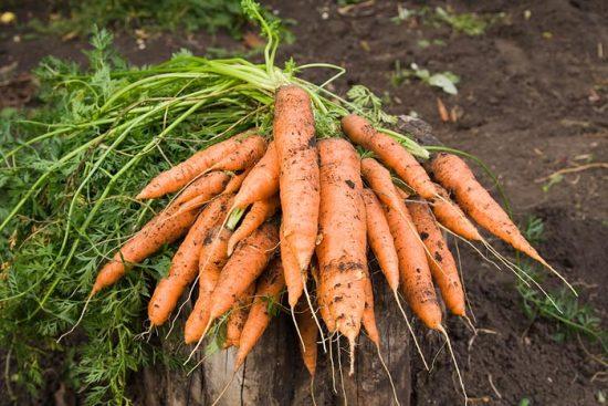 почему червивая морковь