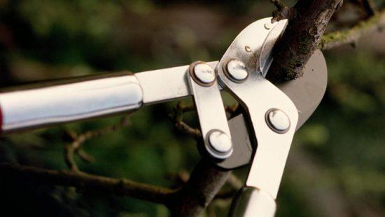 почему сохнут ветки у вишни