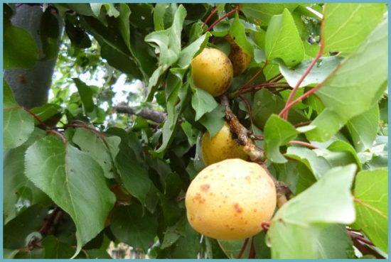 жердела и абрикос