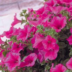петуния джоконда многоцветковая