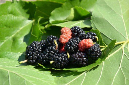 почему шелковица не плодоносит