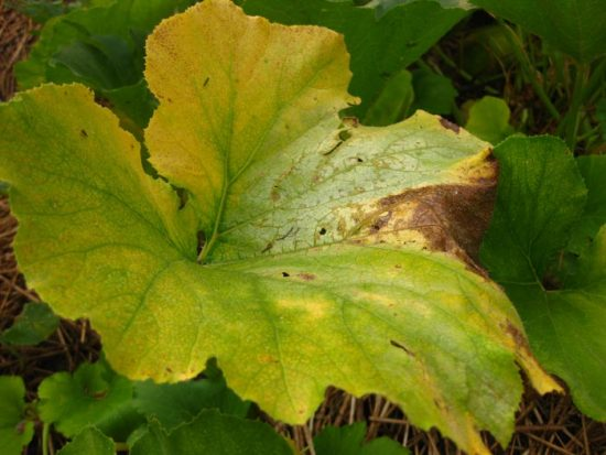 почему у тыквы желтеют листья